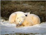 Animals - 1024 - Polar Bears.jpg - Polar Bear