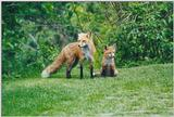 Edwards Gardens 1203 - Red Foxes (Vulpes vulpes)