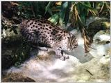 fishing cat - Prionailurus viverrinus - 121-36a.jpg