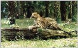 leopard with bubbles - 168-32.jpg (1/1)