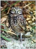 Burrowing owl - 178-2.jpg (1/1)