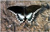 What kind of butterfly? - 246-24.jpg (1/1)