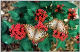 white peacock butterfly? - 249-2.jpg