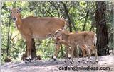female and young nilgai - 253-12.jpg - nilgai or blue bull (Boselaphus tragocamelus)