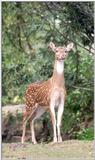 axis deer - 259-13.jpg - chital (Axis axis)