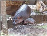 hippo and baby - 270-21a.jpg (1/1)