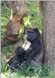 gorilla and baby - 273-10a.jpg (1/1)