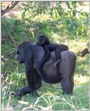 gorilla and baby 2 - 273-9a.jpg (1/1)