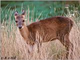 One cute antelope again - Four-horned Antelope (Tetracerus quadricornis)