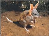 Animals - 800 - Bandicoot.jpg