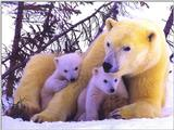 Animals - 800 - Bear.jpg - Polar Bear and cubs