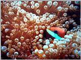 Clown Fish - Koh Tao, Thailand