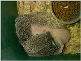 hedgehog babies eating