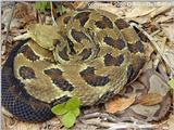 Timber rattlesnake and N Copperhead