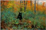 American Black Bear In Underbrush