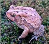 Re: Looking toads pics -- American Toad (Bufo americanus)