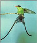 Awhat Bird 19 - Streamertail Hummingbird