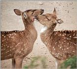 ... and the Tiger food  - Axis Deer snuggling at Hagenbeck Zoo - Chital (Axis axis)