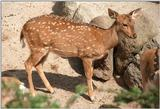 Another rescan/repost plus old version for comparison - Axis deer (Axis axis) in Hagenbeck Zoo