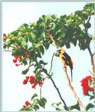 Spot-breasted Oriole? Please identify. - BIRD.jpg