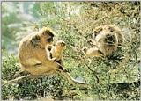 Barbary macaque (J01)