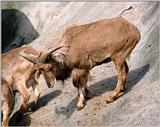 Hagenbeck Zoo - Barbary Sheep