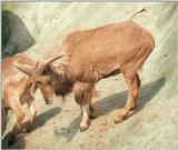 Another rescan/repost - Barbary sheep in Hagenbeck Zoo
