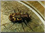 Beautiful Tiger Beetle - ktatlow@xta.com