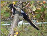Black-billed Magpie (3/7) -- 까치
