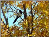 Black-billed Magpie (4/7) -- 까치