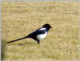 Black-billed Magpie (6/7) -- 까치