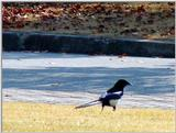 Black-billed Magpie (Pica pica sericea) -- 까치