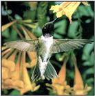 Hummingbird - Black-chinned Hummingbird 31