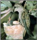 Hummingbird - Black-chinned Hummingbird Female 02