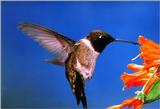 Re: Requested : Hummingbird and butterfly - Black-chinned 01 Hummingbird.jpg