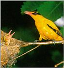 Black-naped oriole (JP01)