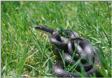 Blackrat Snake (Elaphe obsoleta obsoleta) in the grass 1