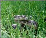 Blackrat Snake (Elaphe obsoleta obsoleta) in the grass 2