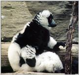 Black-and-white ruffed lemurs