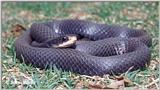 Adult Black Racer (snake)
