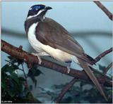 ...(A few Birds (see filename for species) [2/3] - Blue-faced Honeyeater (Entomyzon cyanotis).jpg (