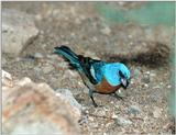 Bird with Blue Head ? - Lazuli bunting (Passerina amoena)