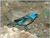 Bird with Blue Head ? -- Lazuli bunting (Passerina amoena)