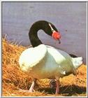 Re: Bird Pics - Black-necked Swan