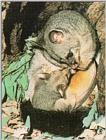Brush-tailed possum (J01) (주머니여우)