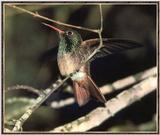 Hummingbird - Buff-bellied