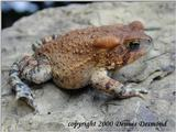 American Toad- Red Phase