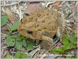 Southern Toad 2/3