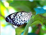 Please identify this butterfly - Butterfly5.jpg (1/2)