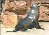 Animal pictures from my trip to California - Sea Lion in Sea World, San Diego